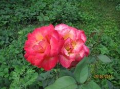 siamese roses