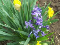 daffodil and hyacinth