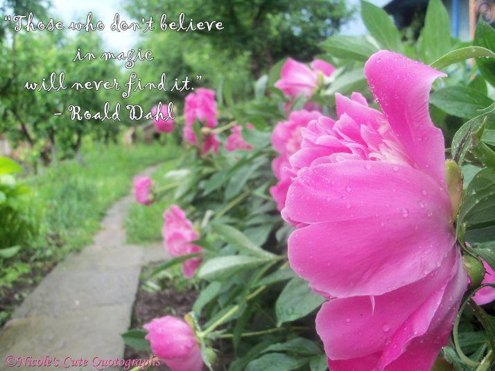 cute pink peony raindrops