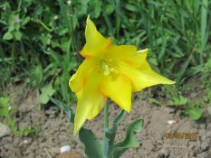 elegant yellow tulip