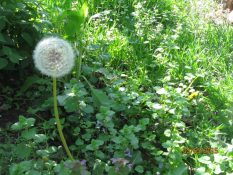 dandelion ready to ..fly