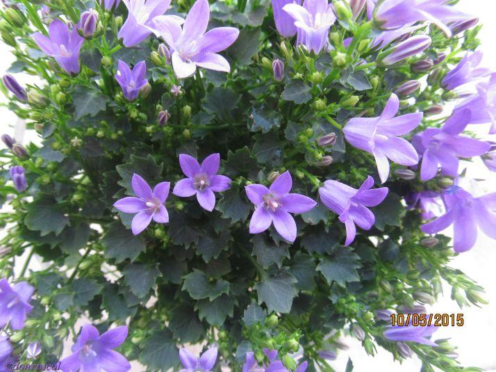 light purple chanting