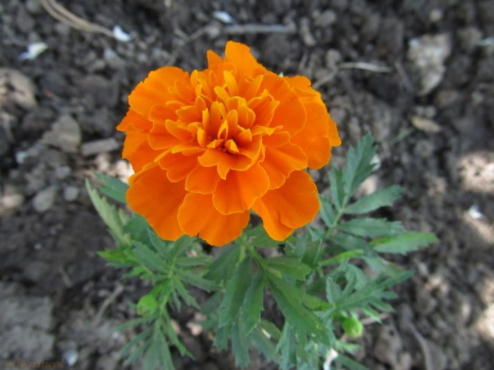 orange velvet
