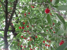 raining cherries