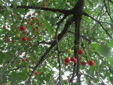cherry roof