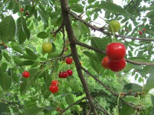 cherry drops