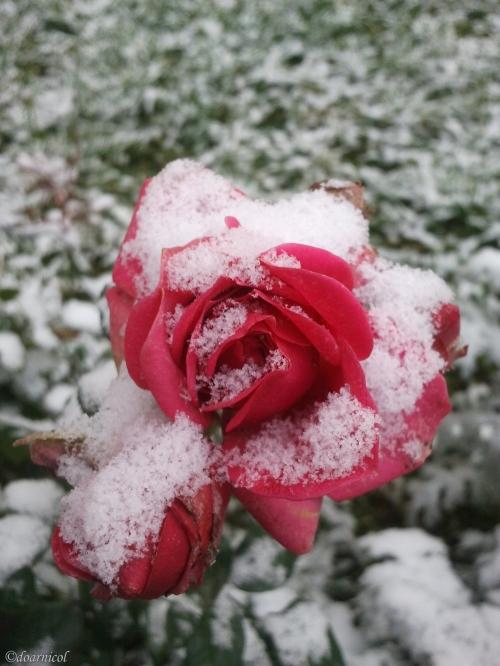 flake petals