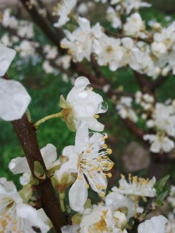 dewy petals