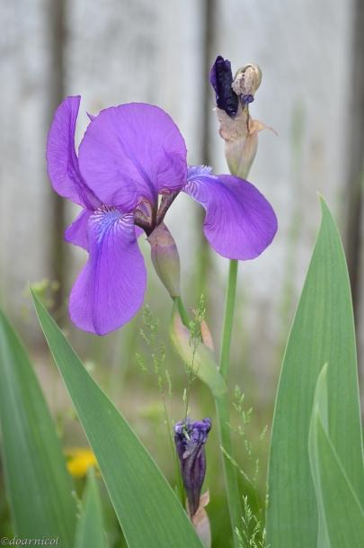 lofty iris