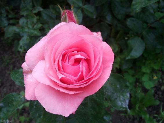 la vie... en rose