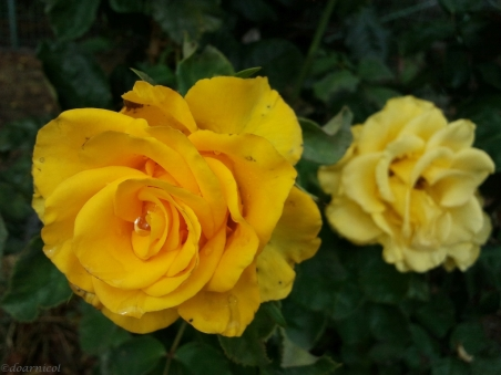 rosedrop