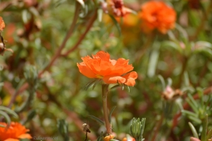 lacy orange