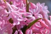 a galaxy of pink petals