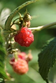 raspberry delight
