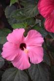 pink glance