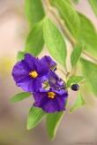 purple through the air