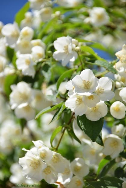 jasmine serene