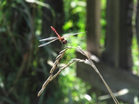dragonfly spell