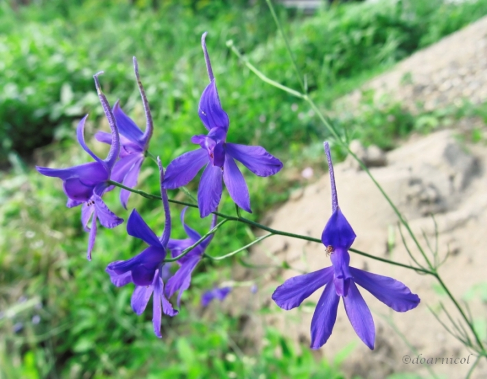 violet liveliness