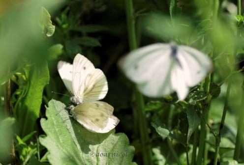 butterfly frolic