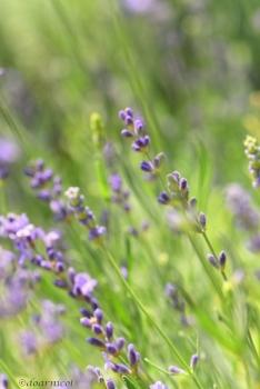 lavender daydream