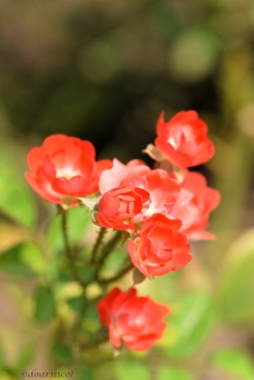 little cute roses... special red