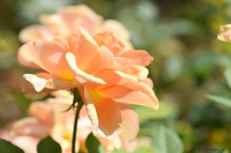 petals' beam