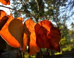 ringing auburn leaves