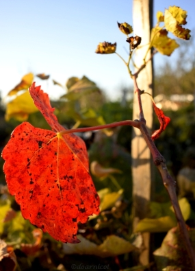 pondering red leaf