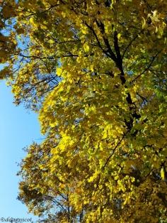 fluffy yellow trees
