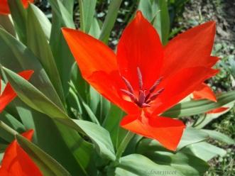 red tulip burst