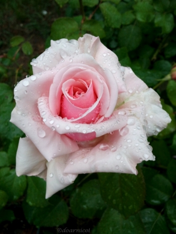 droplets of rose cuteness