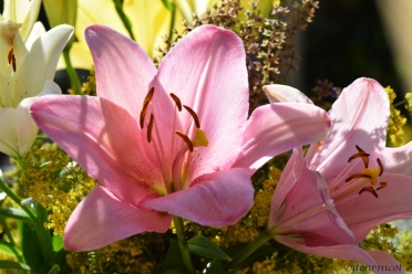 pink grace