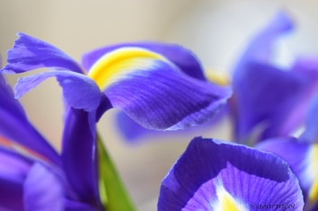 iris elegant delight