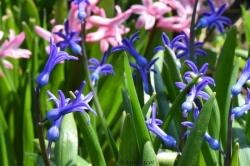 hyacinths dance