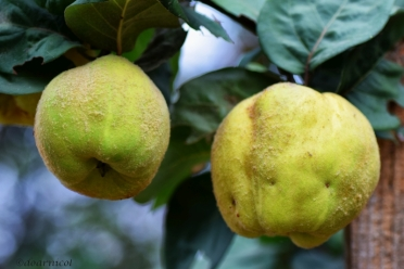quinces' chatter