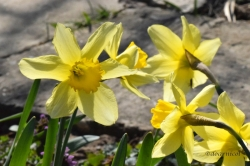 daffodil lightness