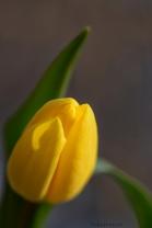 yellow wisp