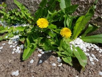 dandelion sister/brotherhood... and petals