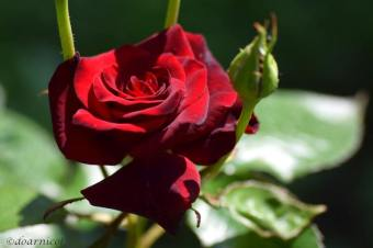 resting radiant red rose