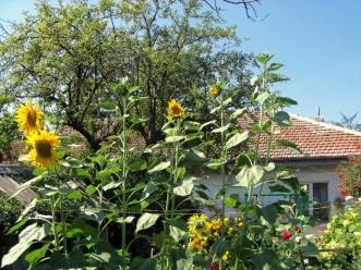 sunflower sway