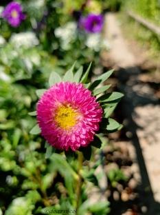 sweet pink shine